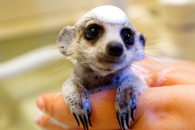 ミーアキャットのお風呂